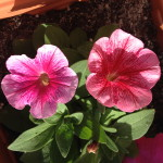Petunias - one of Nature's many wonders.